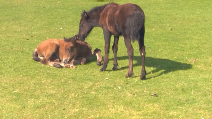Residents of Holy Isle - 2 wild foals