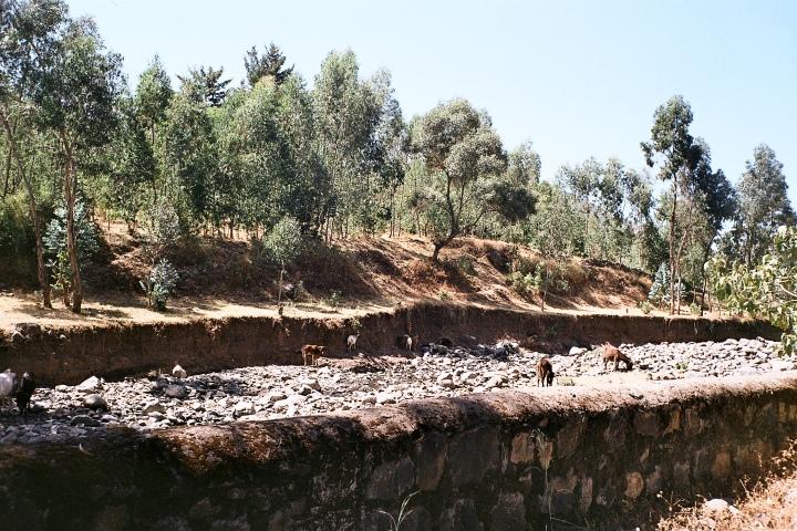 Cattle in stream.Wllqa