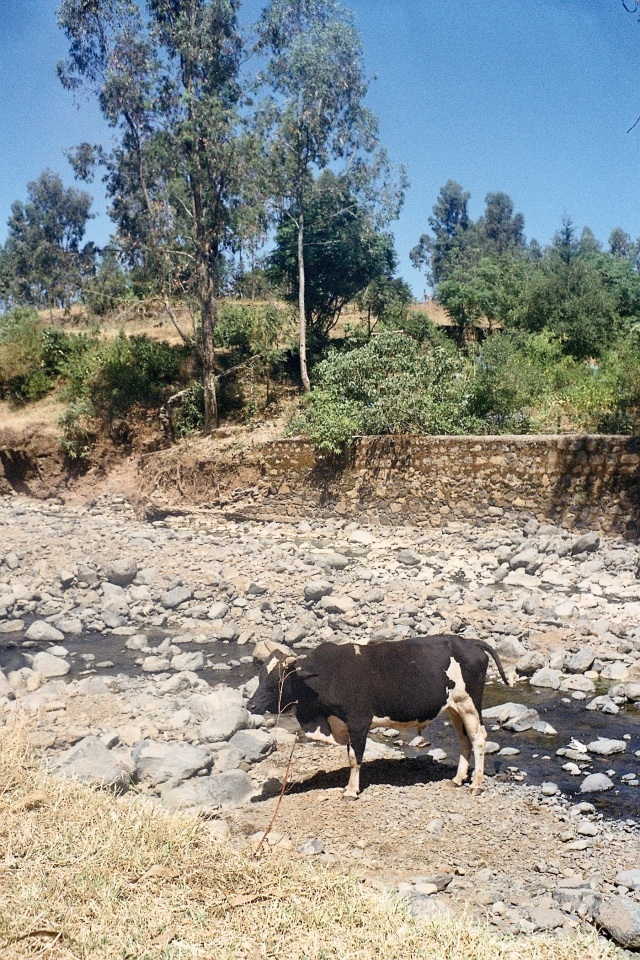 Cow in stream nr Wolleqa