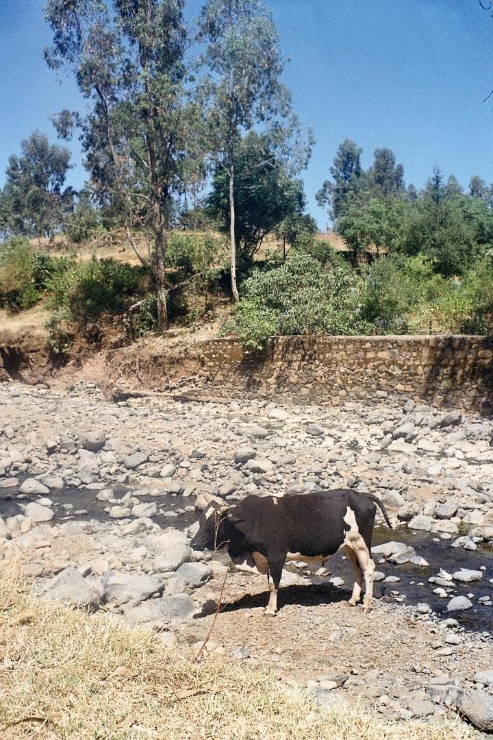 Cow in stream nr Wolleqa