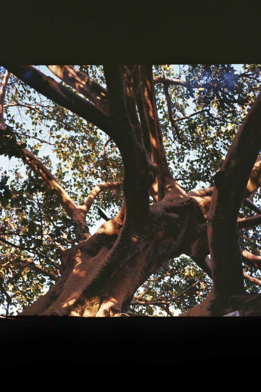 Magical Tree-Tana