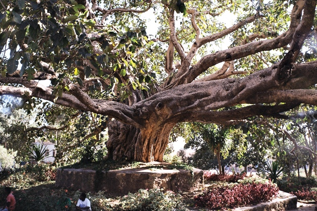 Tree in Gondar
